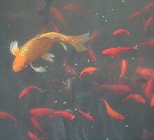 orange goldfish in the water by Rachel Lewter