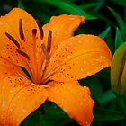 Orange Lilly by David Bridle