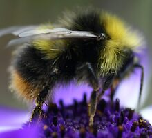 Bumble Bee by Justine Humphries