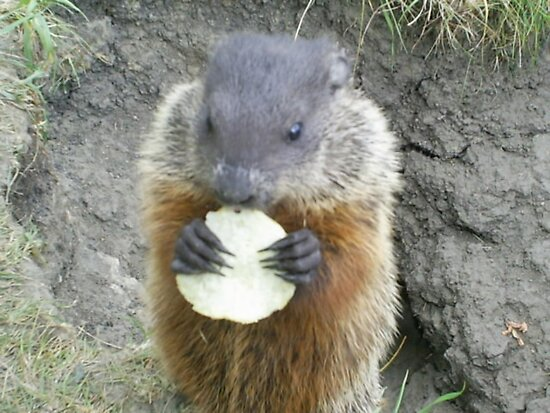 cutey groundhog by oilersfan11