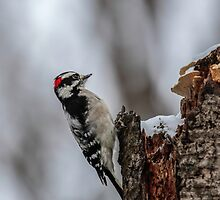 Downy Woodpecker by Thomas Young