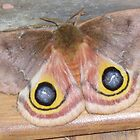 Owl Eye Moth by rootswithwings