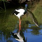 Black-necked Stork by Martin Pot