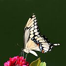 GIANT SWALLOWTAIL BUTTERFLY by TomBaumker