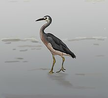 White-faced Heron by Rachel Jones