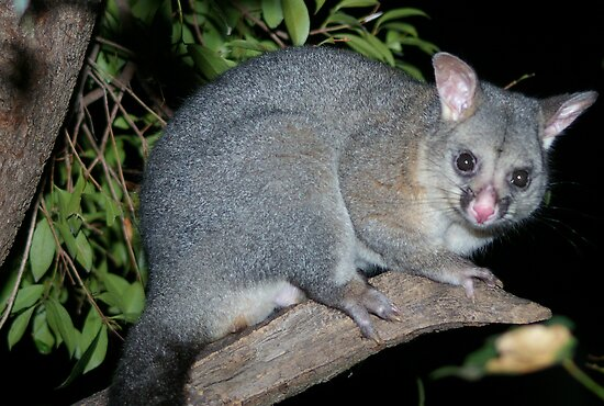 Australian Brushtail Possum by Michael Humphrys