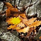 Oak Leaves by farmboy