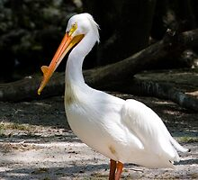 American White Pelican by Delores Knowles