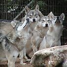 Wolf pack waiting for their prey by samc352