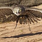 Barking Owl in Flight by Wildpix