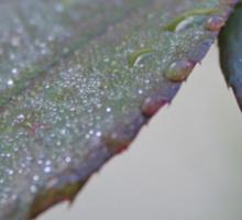 Morning Dew (2) Sticker