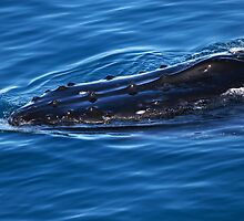 Humpback Whale by Darren Stones