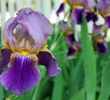 Purple Iris by the Fence by Kathleen Brant