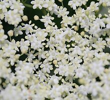 elder flower by maximusb