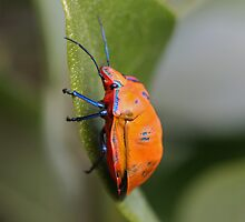 Cotton Harlequin Bug 11 by Mark Snelson