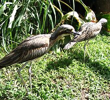 curlews - Magnetic Island - QLD, Australia by Susanne Schmitz