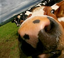 Nosy Cow by Ian Smith