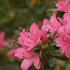 Azaleas in May by Ficklephotographer