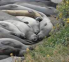 Sleeping Seals on a Summer Day by lblue22