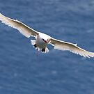 Red-tailed Tropic Bird by Paul Wainwright