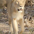 Lioness on the move by Pravine Chester
