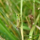 Grasshopper. by Michael Rowlands