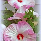 Pink And White Hibiscus Flowers by kkphoto1