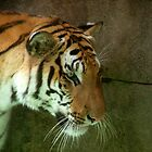 Siberian Tiger by Jim Sugrue