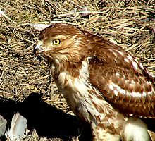 Red Tail Hawk by Jim Sugrue