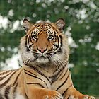 Tiger 3 by kmargetts