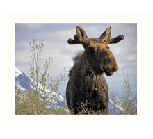 Young Bull in the Tetons Art Print