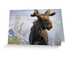 Young Bull in the Tetons Greeting Card