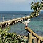 Seagull at Ardrossan by indiafrank