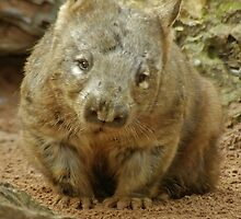 Hair Nose Wombat by Aussiebluey