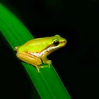 Eastern Sedge Frog by Simon Fallon