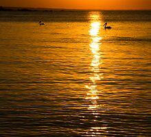 Pelicans by Simon Fallon
