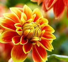 Dahlia Beauty by Stefan Haase