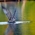 Laridae | Young Seagull Landing On Mill Pond - Center Moriches, New York by © Sophie W. Smith