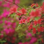 Azalea by Tess Johnson