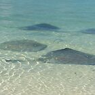 Stingrays by skurm002