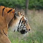 tiger prowl by markwalton3
