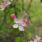 Crabapple double blossom buds by carolcath