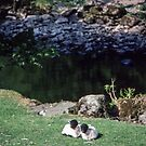 Black faced sheep at Rydal Lake District England 198405200005 by Fred Mitchell