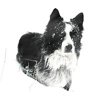 Working Winter Collie by Andrew Bret Wallis