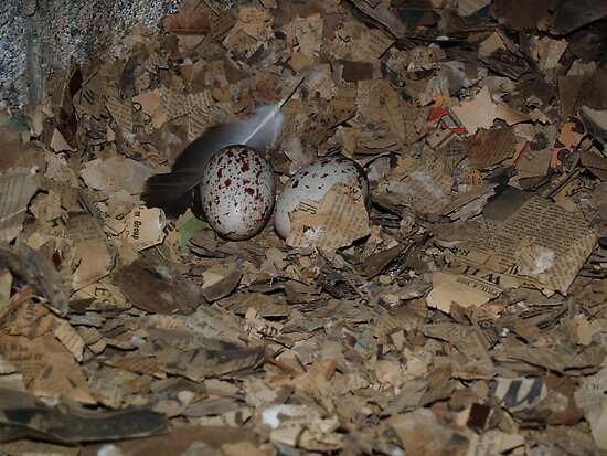 Turkey Vulture Eggs June 2007 by carolcath