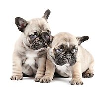 Frenchie Puppy Pals by Andrew Bret Wallis