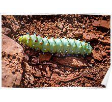 Colorful Cecropia Caterpillar Poster