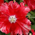 Red tulip by Arie Koene