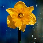 Daffy by Lindsay Knowles