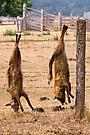 Foxes by Darren Stones